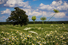 A Field of White Wildflowers. Under a blue, cloud-filled sky Stock Image