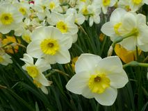 A field of white and yellow daffodils blooming Royalty Free Stock Photos