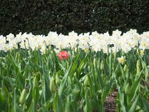 Field of white and yellow daffodils in full bloom with a single pink tulip Stock Images