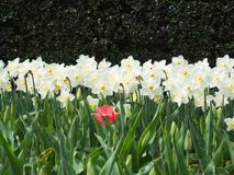 Field of white and yellow daffodils in full bloom with a single pink tulip Royalty Free Stock Photo