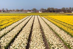 Field of white and yellow flowers Stock Photo