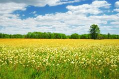 Field with white and yellow flowers. In summer day stock images