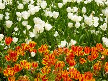 A field of white and yellow tulips blooming in early spring Royalty Free Stock Photos