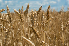 Field Wiht Wheat Stock Photography