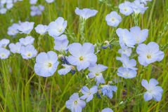 Field with wild bellflower closeup Royalty Free Stock Photo