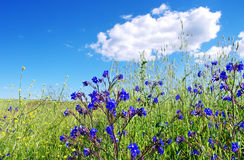 Field with wild blue flowers Royalty Free Stock Photos