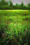 Field of Wild blue iris. A field full of wild blue iris in field after the rain stock image