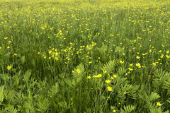 Field Wild Buttercups and Ferns Stock Photo