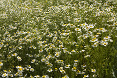 Field of wild camomiles Royalty Free Stock Photo