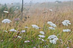 Field of wild carrot flowers Royalty Free Stock Image