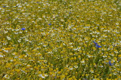 Field of wild chamomile flowers Stock Photos