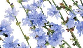 Field wild cornflowers Royalty Free Stock Image