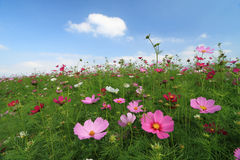 Field of wild cosmos flower Stock Images