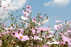 Field of wild cosmos flowers royalty free stock photos