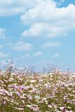 Field of wild cosmos flowers Stock Image