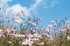 Field of wild cosmos flowers Royalty Free Stock Photo