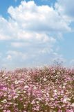 Field of wild cosmos flowers Royalty Free Stock Images