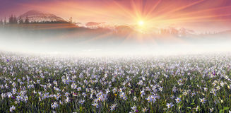 Field of wild daffodils in the Carpathians Royalty Free Stock Image