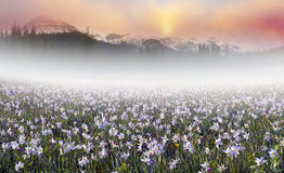 Field of wild daffodils in the Carpathians Royalty Free Stock Images