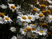 Field of Wild Daisies Royalty Free Stock Images