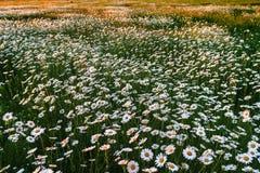 Field of wild daisies Royalty Free Stock Photos