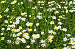Field of wild daisies Stock Images