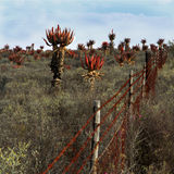 Field of wild flowering aloes. With rusted barbed wire fence royalty free stock photography
