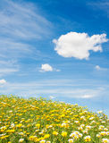 Field of wild flowers. Yellow and white daisies against the dark blue sky with clouds Royalty Free Stock Photos