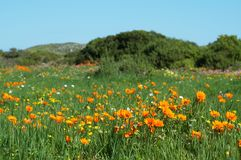 Field of wild flowers. Field of colorful wild flowers in West Coast National Park, South Africa Stock Image