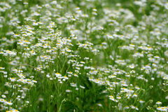 Field of wild flowers Stock Images