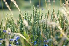 Field of Wild Flowers and Cornflowers Royalty Free Stock Images