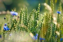 Field of Wild Flowers and Cornflowers Stock Photos