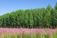 Field of wild flowers with a forest - poplar trees in the backgr