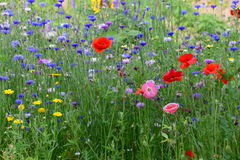 Field of wild flowers with lots of colors in garden in belgium Royalty Free Stock Photos