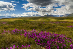 Field with wild flowers and mountains Stock Image