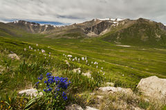 Field with wild flowers and mountains Royalty Free Stock Photography