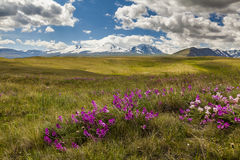 Field with wild flowers and mountains Royalty Free Stock Image