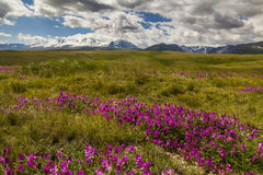 Field with wild flowers and mountains Royalty Free Stock Photo