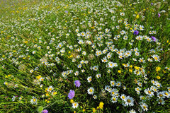 A field of wild flowers in spring. Wide angle shot of a field of wildflowers - white oxeye daisies, blue field scabious and yellow field scabious Stock Photos