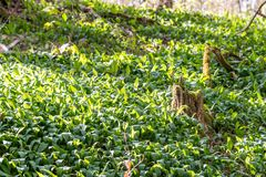 A field of wild garlic in the forrest Royalty Free Stock Photos