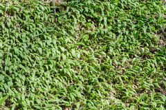 A field of wild garlic in the forrest Stock Photo