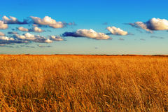 Field of wild grass at sunset Royalty Free Stock Images