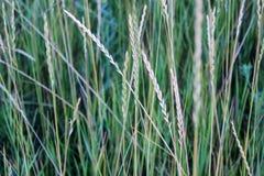 Field wild green grass. Wild field green grass and ears in field Stock Image