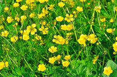 Field of wild marsh marigold Stock Image