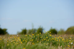 Field of wild meadow buttercups Stock Photography