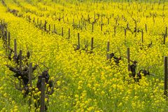 Field of wild mustard in bloom at a vineyard in the spring, Sonoma Valley, California royalty free stock images