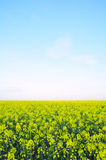 Field of Wild Mustard Flowers Stock Photography