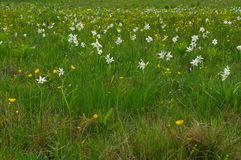 Field with wild narcissus flowers Royalty Free Stock Image
