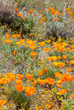 Field of Wild Orange Poppies Royalty Free Stock Photos