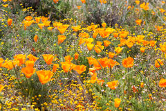 Field of Wild Orange Poppies Stock Photo